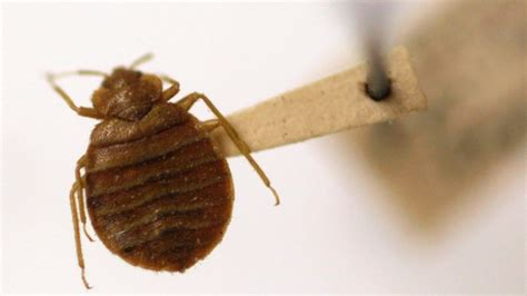 Can You Get Sick From Bed Bugs by Are Bed Bugs To Get High