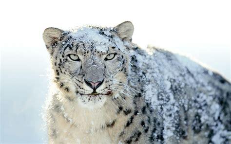 wallpaper leopard mac os mac os x snow leopard wallpapers hd wallpaper cave