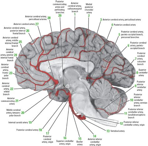 brain blood supply diagram wk 4 blood supply of the brain at michigan state