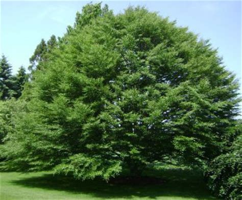 Black Hairstyles For 60 Pine Trees by Fern Leaved Beech Tree Facts Fern Leaved Beech Family Name