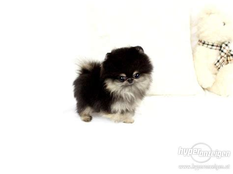 grown micro teacup pomeranian 1000 images about adorable pics on pomeranian husky teacup pomeranian