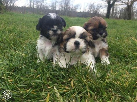 my shih tzu is shaking 17 best images about shorkie tzu yorkie mix on terrier