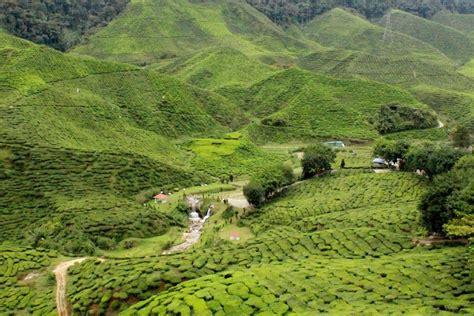 Teh Cameron Valley hang kebun ladang teh cameron highlands