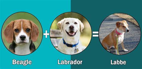 labbe puppies top 10 labrador retriever cross breeds disigner breed