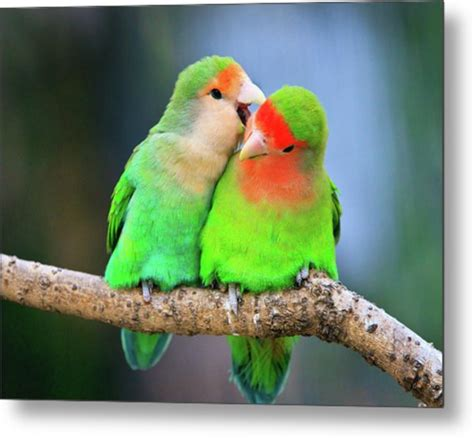 love bird rescue two peace faced lovebird photograph by feng wei photography