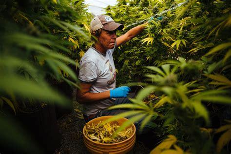 Marijuana Background Check California Marijuana Growers Assess Damages With Dwindling