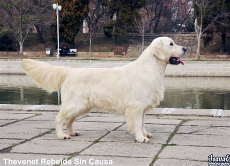 difference between and american golden retrievers american golden retriever kennel dogs in our photo