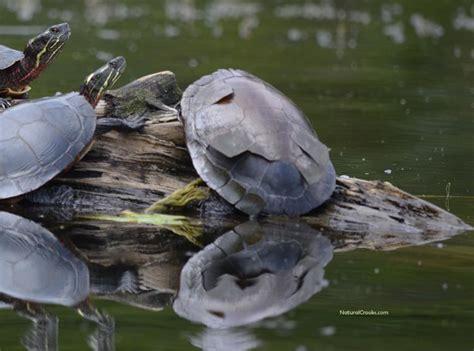 Turtles Shedding by Midlandpaintedsheddingscutes Crooks Ramblings