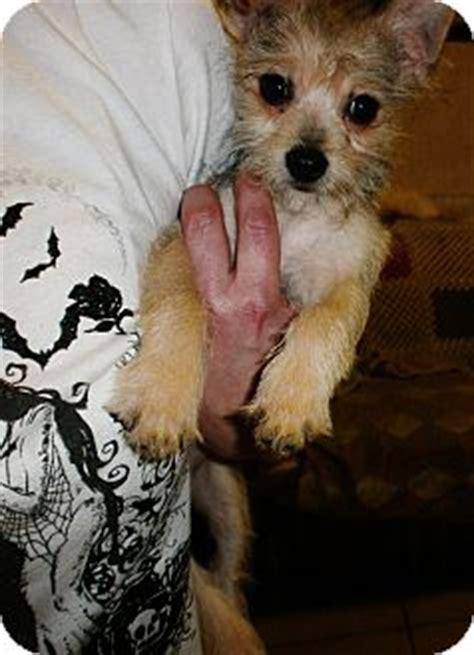 munchkin yorkies munchkin adopted puppy silsbee tx yorkie terrier chihuahua mix