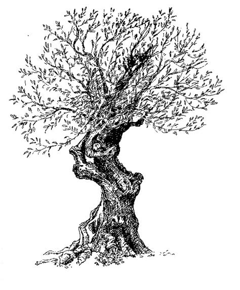 olive tree drawing sketch coloring page