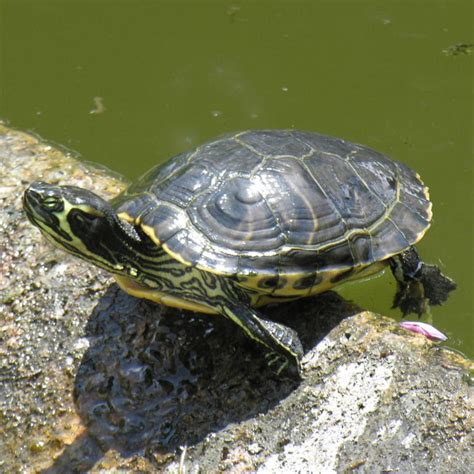 yellow bellied slider terrapin