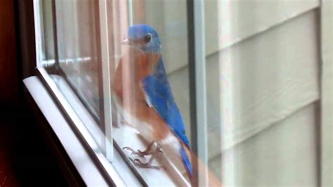 blue bird on my window sill youtube