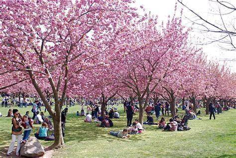 Nyc Nyc Cherry Blossom Season At Brooklyn Botanic Garden Cherry Blossom Botanical Garden