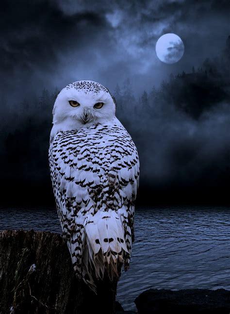 White Owl Meme - beautiful owl photo hiboux au clair de lune photos