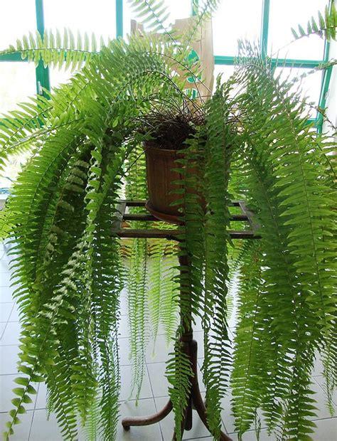 plants flowers 187 boston fern