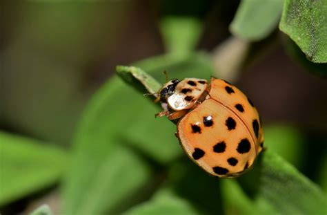 how to keep ladybugs out of house how to keep asian lady beetles out of your house farm and dairy