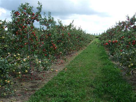 minnesota fruit trees growing apples in home garden