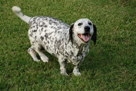 pug dalmatian mix 16 basset hound cross breeds you to see to believe