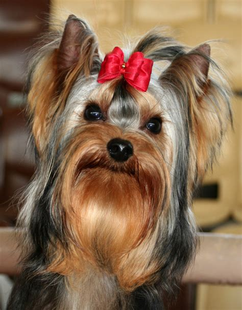 yorkies with bows yorkie http www lapdogclub images media yorkie with bow jpg animals