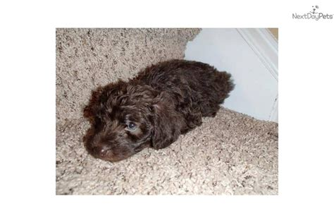 brown yorkie poo brown yorkie poo puppies www imgkid the image kid has it