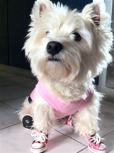 dogs wearing shoes westies wearing shoes westies for dogs westies and
