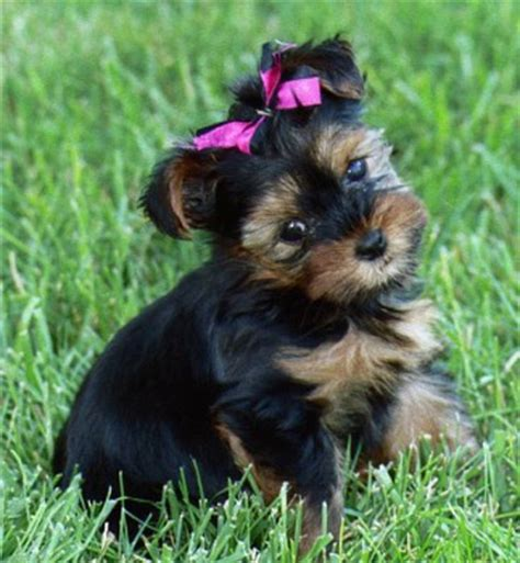 teacup yorkies for sale in michigan cheap american bulldog puppies yorkie puppy free adoptionprlog