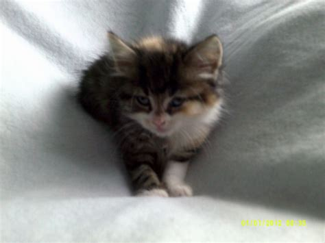 kittens for sale kittens for sale wolverhton west midlands pets4homes