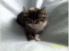 kittens for sale | Wolverhampton, West Midlands | Pets4Homes Kittens For Sale