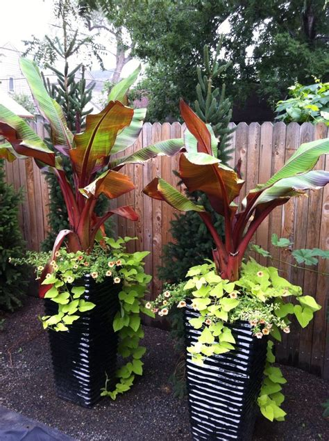 Tree Planters Nursery Springvale by Best 25 Banana Plants Ideas On How To Grow Bananas Fruit World And Grow Banana Tree