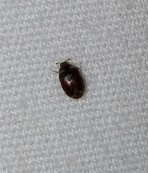 tiny black bugs in bed is this a bed bug questions bed bug forum