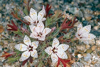 california desert flowers 06 14 2002 manual of california desert plants reveals