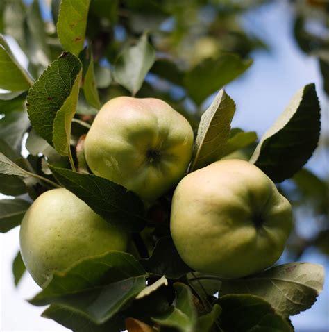 apple varieties heirloom apple varieties making a steady comeback at maine