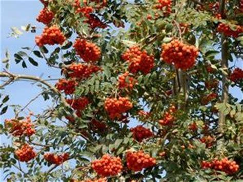 fruit d un sorbier sorbier planter et cultiver ooreka