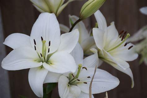 imagenes de lilis blancas flor de lili 161 significado propiedades y beneficios