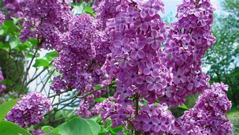 lilla fiori lill 224 oleacee international flora