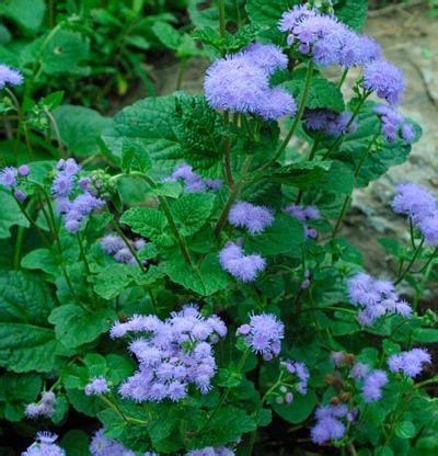 ageratum houstonianum fine gardening
