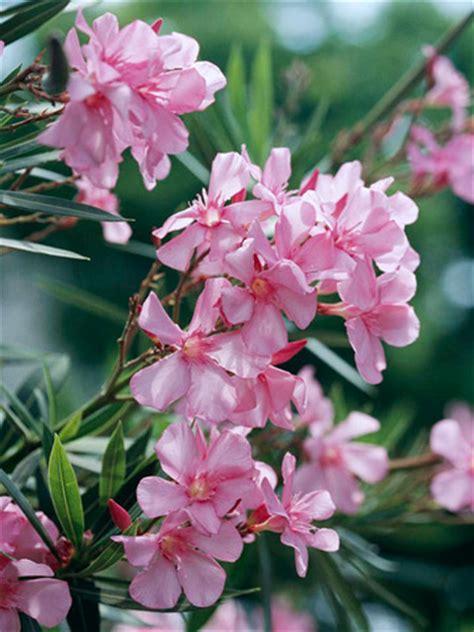 oleander plant oleander