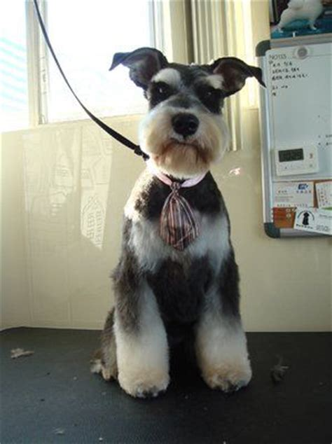 asian style schaunzer hair trim 20 best grooming stuff images on pinterest japanese