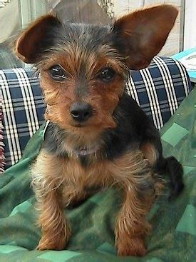 haired dorkie mixes dorkie dog breed pictures 1
