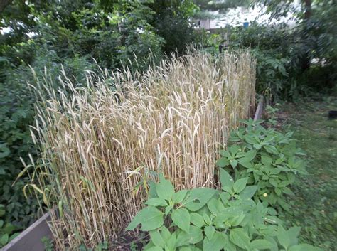 the perennial agriculturalist backyard winter wheat