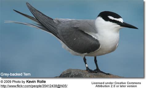 easter island birds grey backed terns of birds
