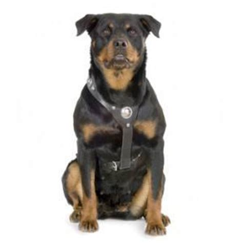 rottweiler bites rottweiler bite attorneys chicago bite firm rosenfeld injury lawyers llc