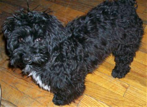 black havanese poodle pics for gt black havanese poodle mix