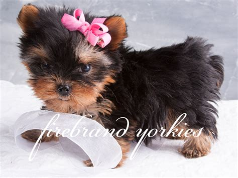 baby dogs yorkie pictures of baby yorkie puppies www pixshark images galleries with a bite