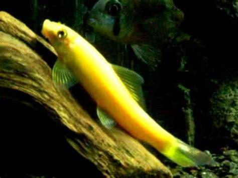 Pembersih Algae Algae Eater Untuk Aquarium Aquascape algae algae eater cae aquajaya