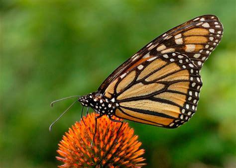 imagenes mariposas libres galer 237 a de im 225 genes mariposas diurnas