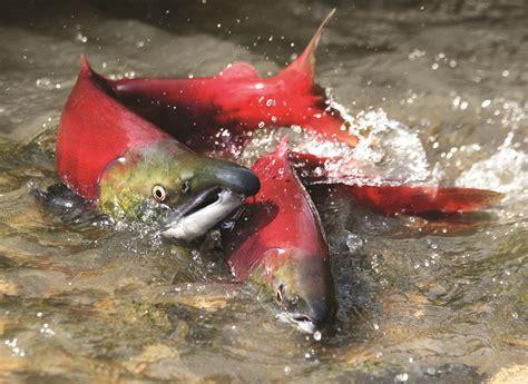 salmon rules everything around us