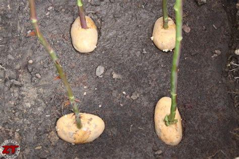 A Partir De Quand Planter Les échalotes by Quand Planter Bouture Rosier
