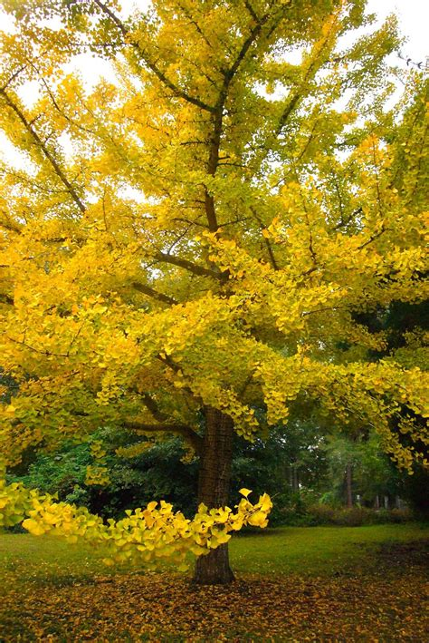 diary of a garden ginkgo tree mobile botanical gardens