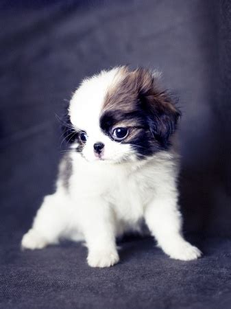 japanese chins japanese chin puppies japanese chin breed information
